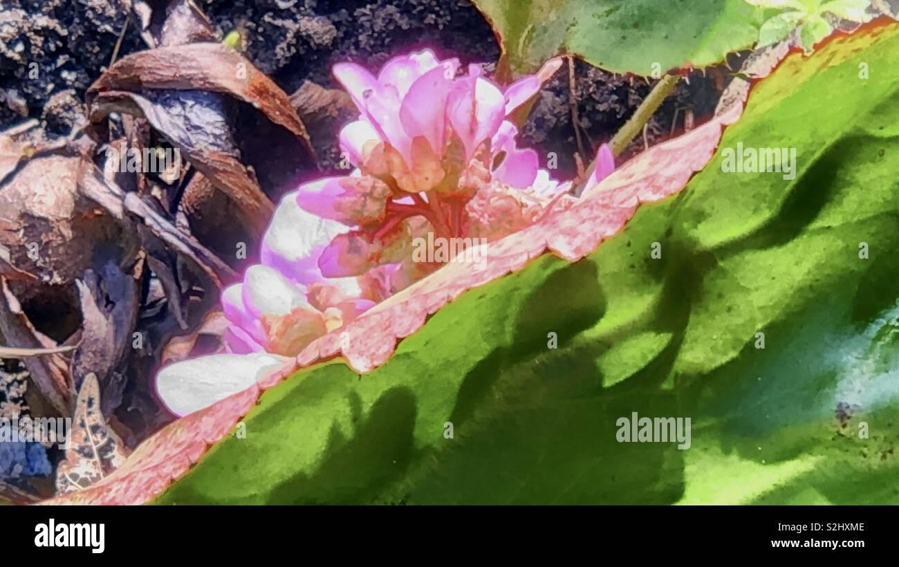 Taro flowers in glorious sunshine - Stock Image
