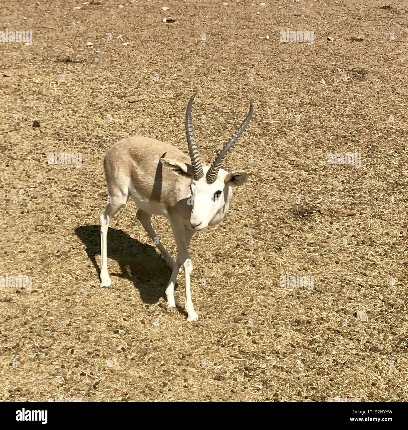 Gazelle at Sir Bani Yas island - Stock Image