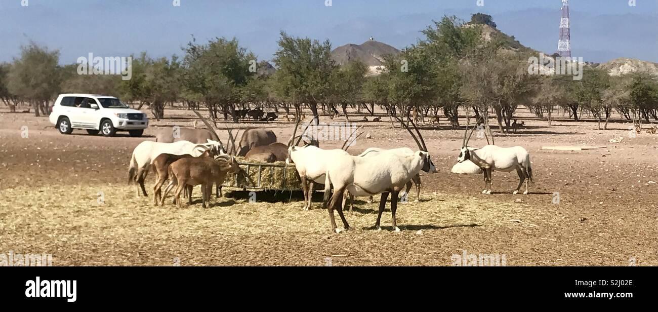 Oryx at Sir Bani Yas island - Stock Image