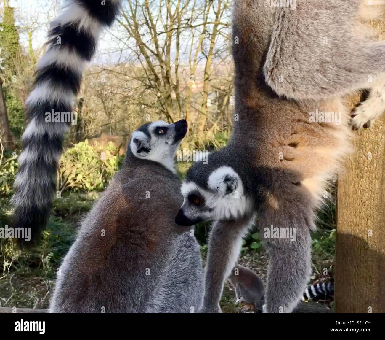 Two Madagascan Lemurs playing - Stock Image