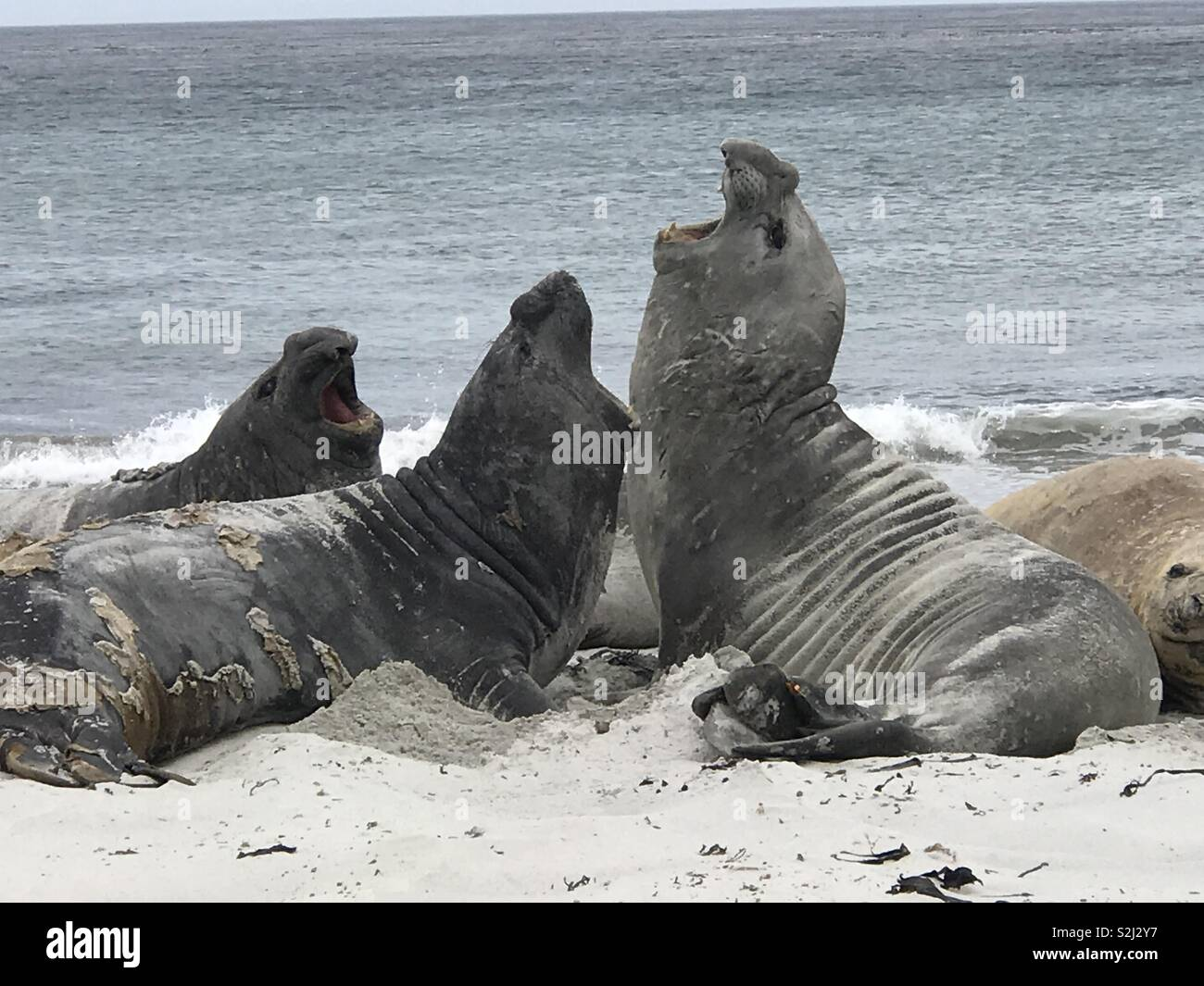 Yawning sea elephants - Stock Image