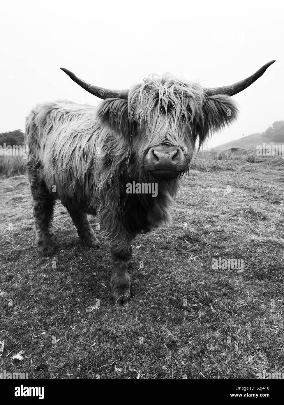 Longhorn cow black and white stock photos images alamy