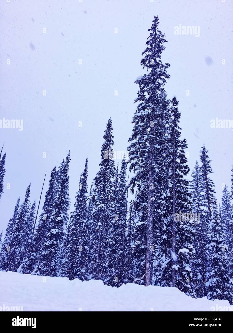 Tall snow covered evergreen trees during a snow fall. - Stock Image