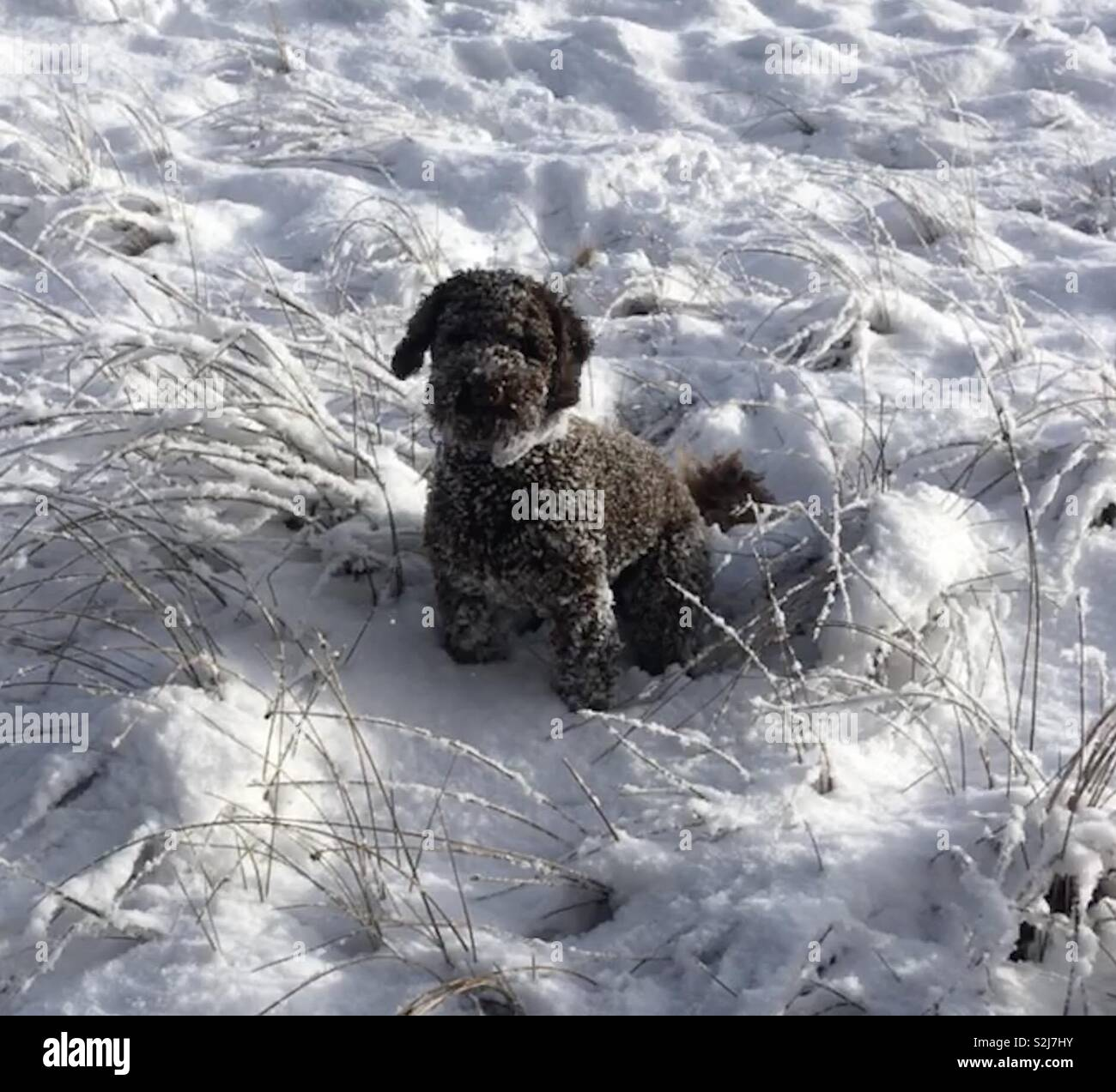 Henry in the snow - Stock Image