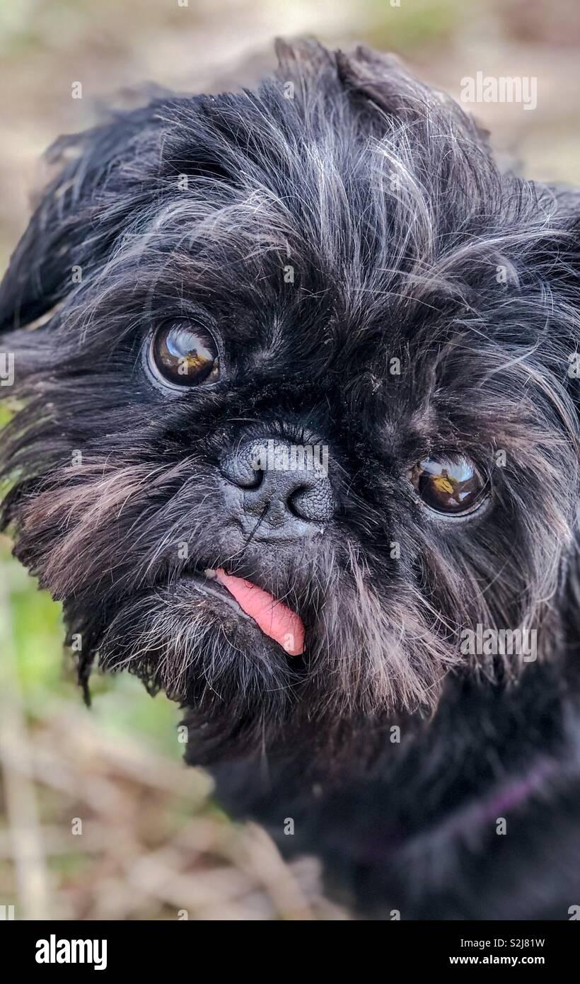 Portrait of Pepper, Pug Shih Tzu crossbreed. - Stock Image