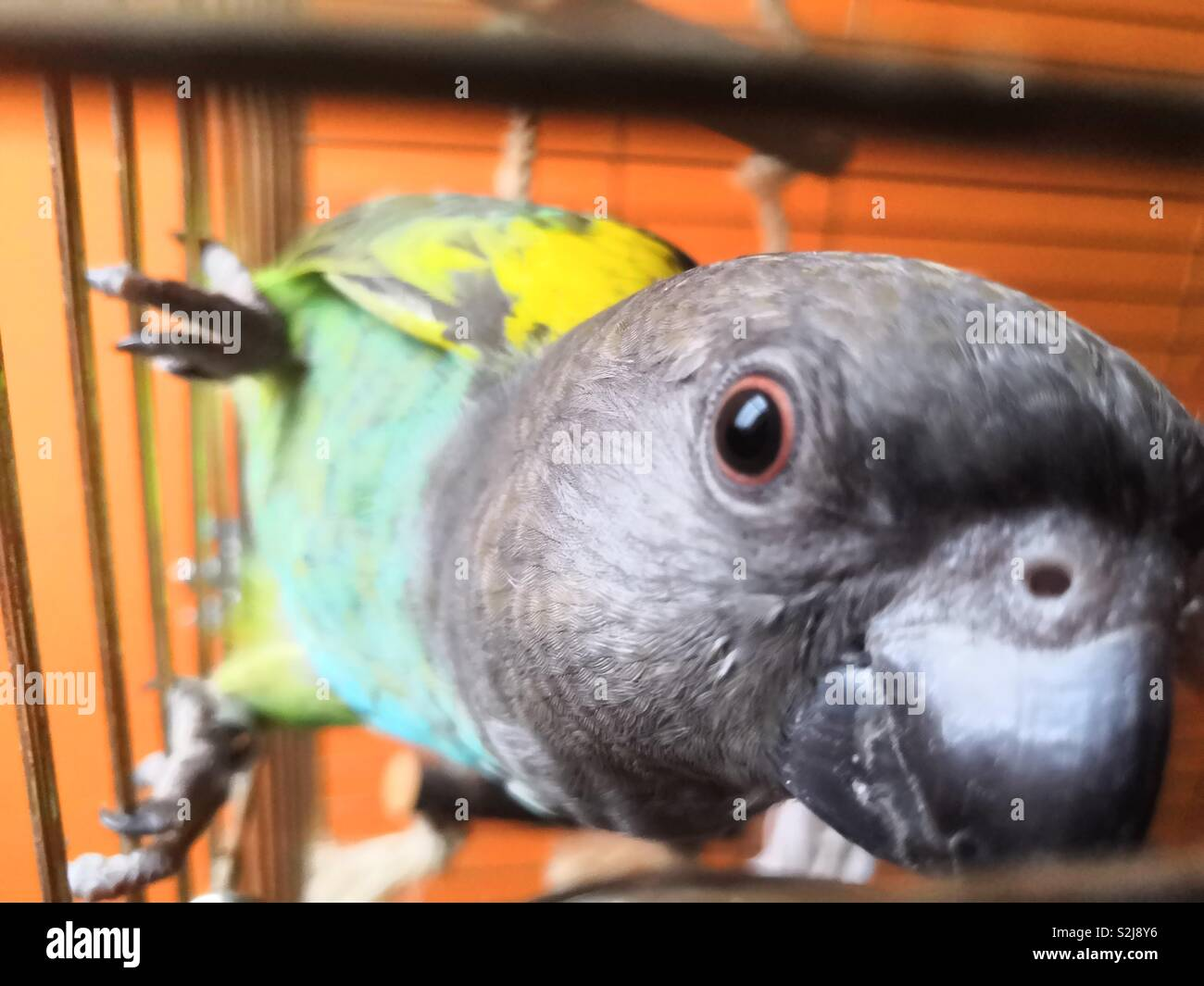 Funny Parrot High Resolution Stock Photography And Images Alamy