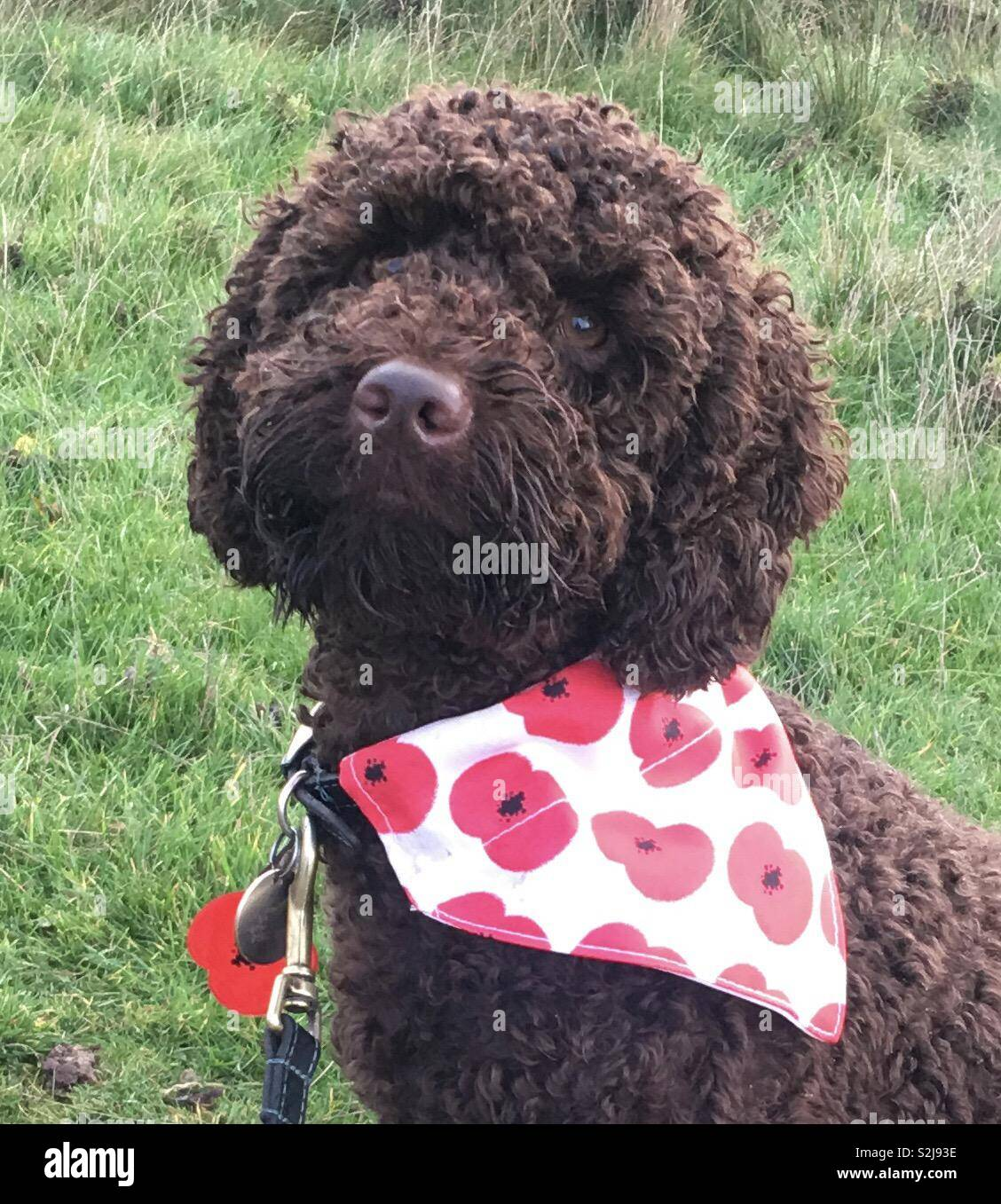 Henry wearing his poppy with pride - Stock Image