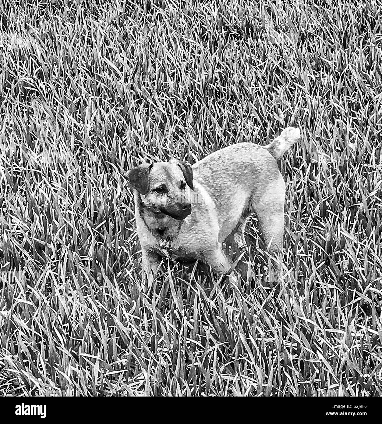 Black and white photo of small terrier dog in winter wheat field. Kent, England. March 2019. - Stock Image