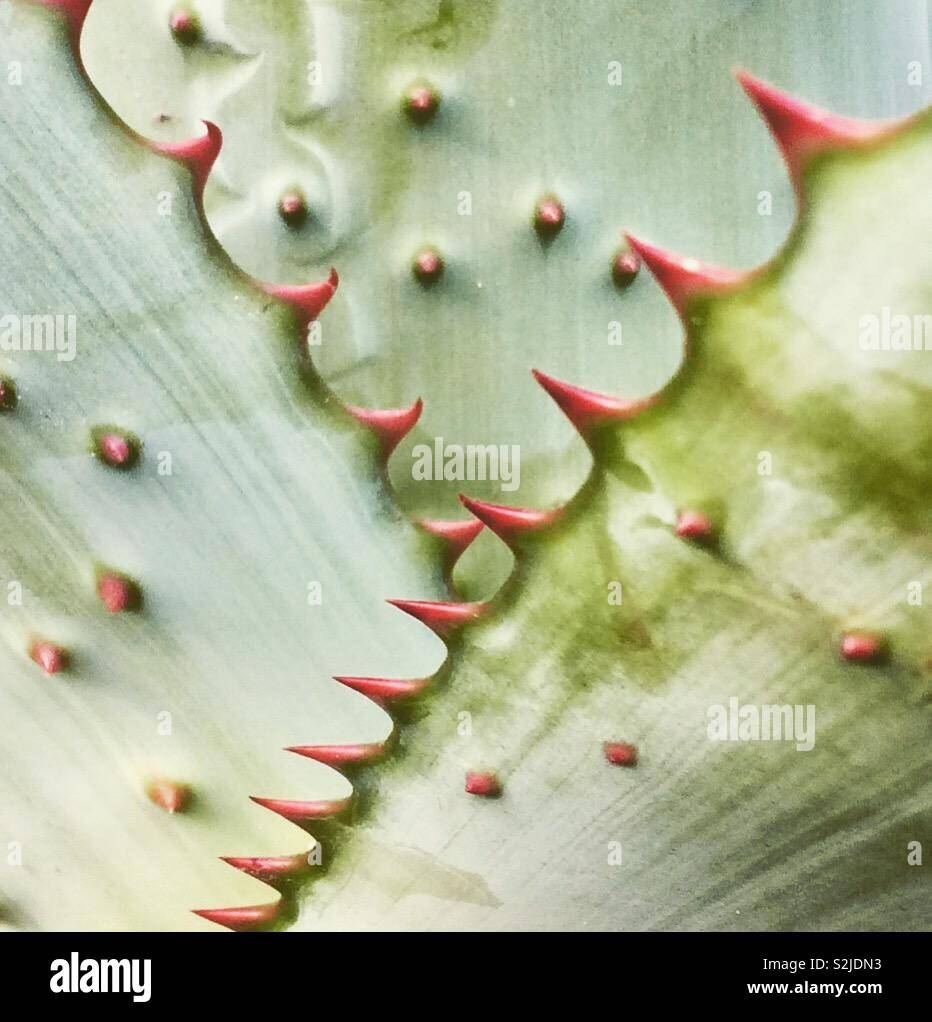 Close up of aloe leaves - Stock Image