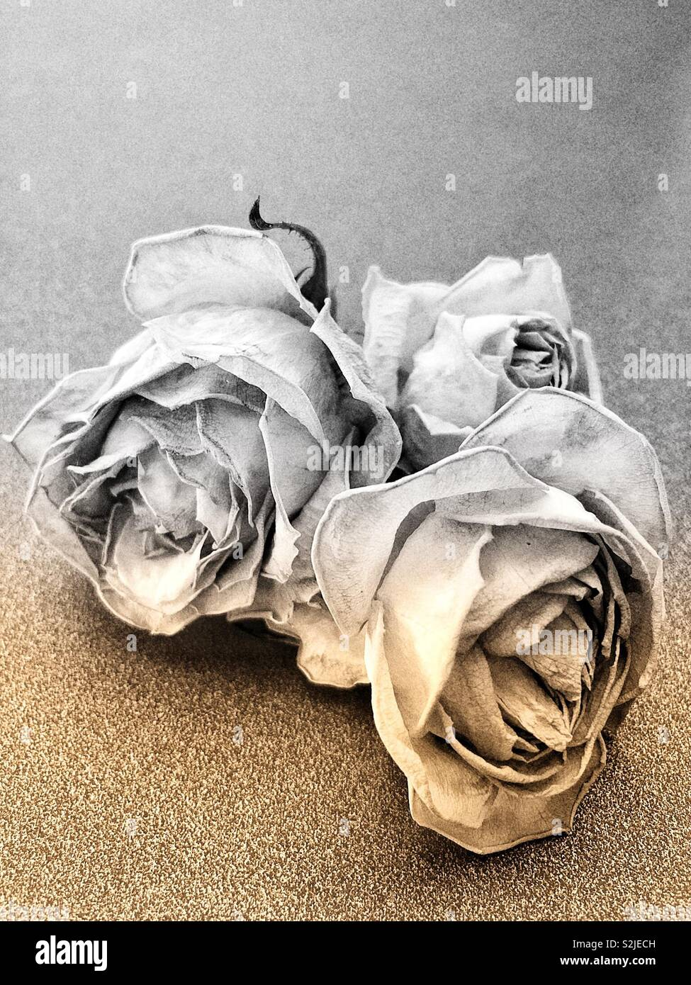 Fading yellow roses - Stock Image