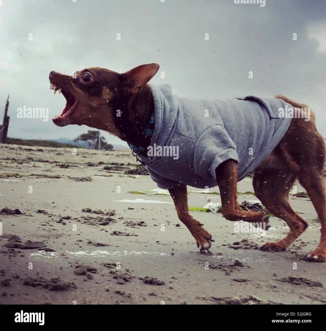 Snarling chihuahua. - Stock Image