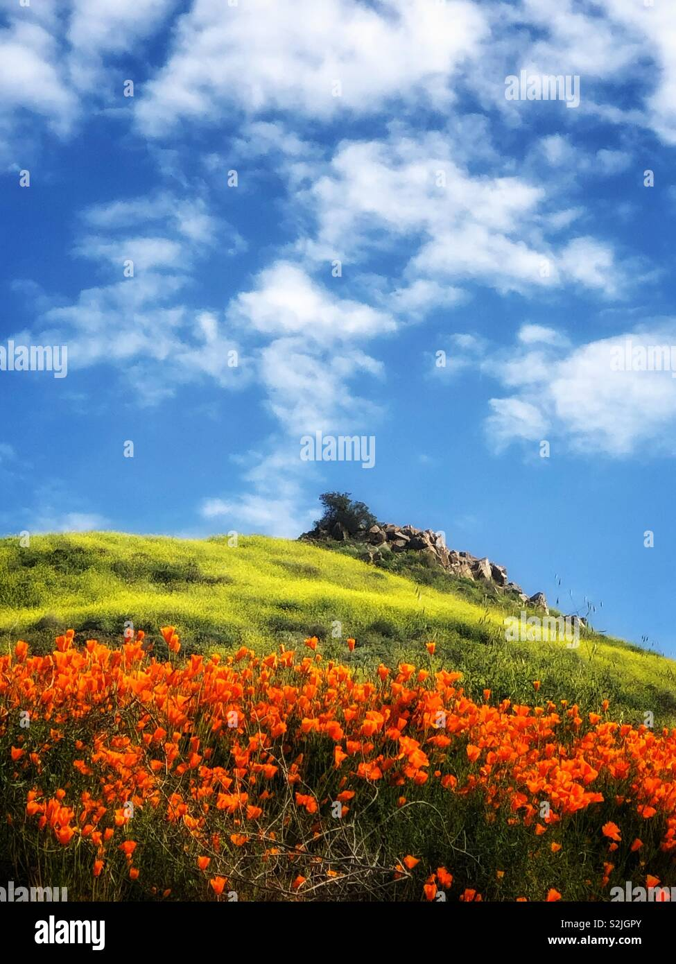 Poppy Superbloom - Stock Image