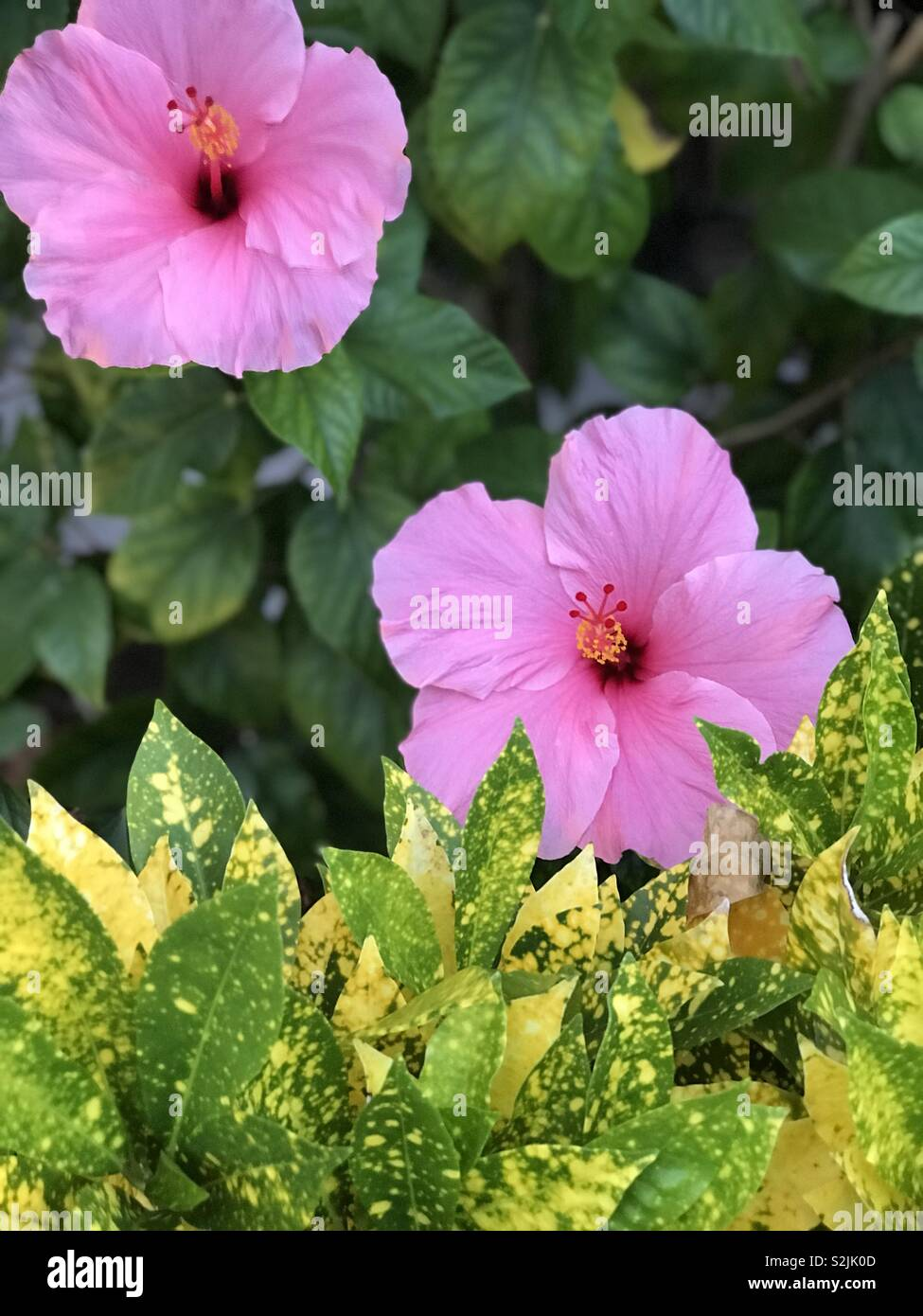 Large Pink Hibiscus Flowers And Tropical Foliage Stock Photo