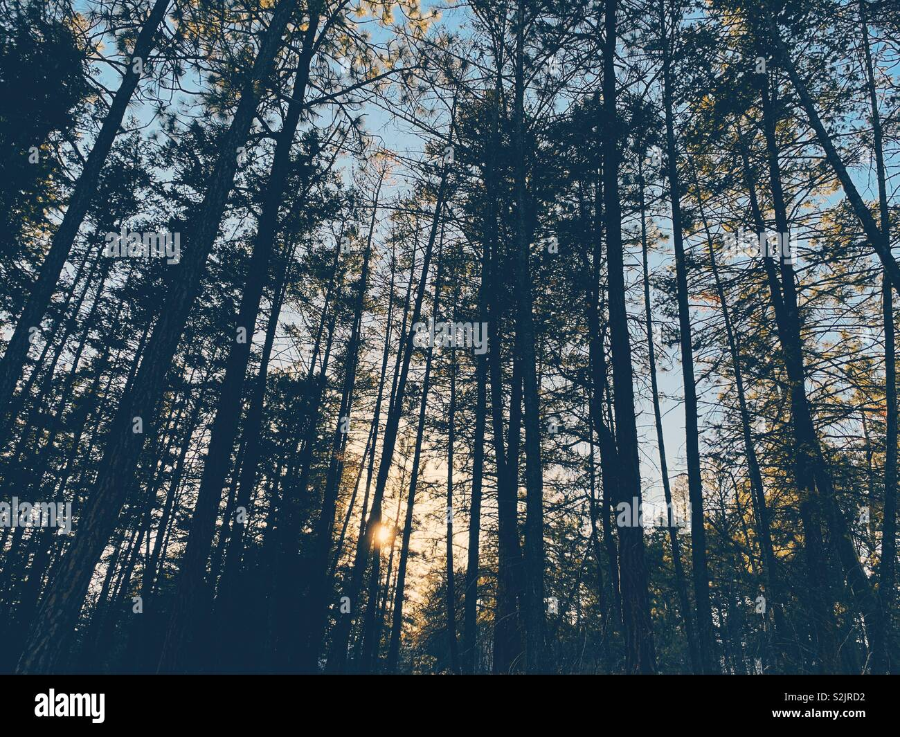 Sunset through the trees of an evergreen forest. - Stock Image