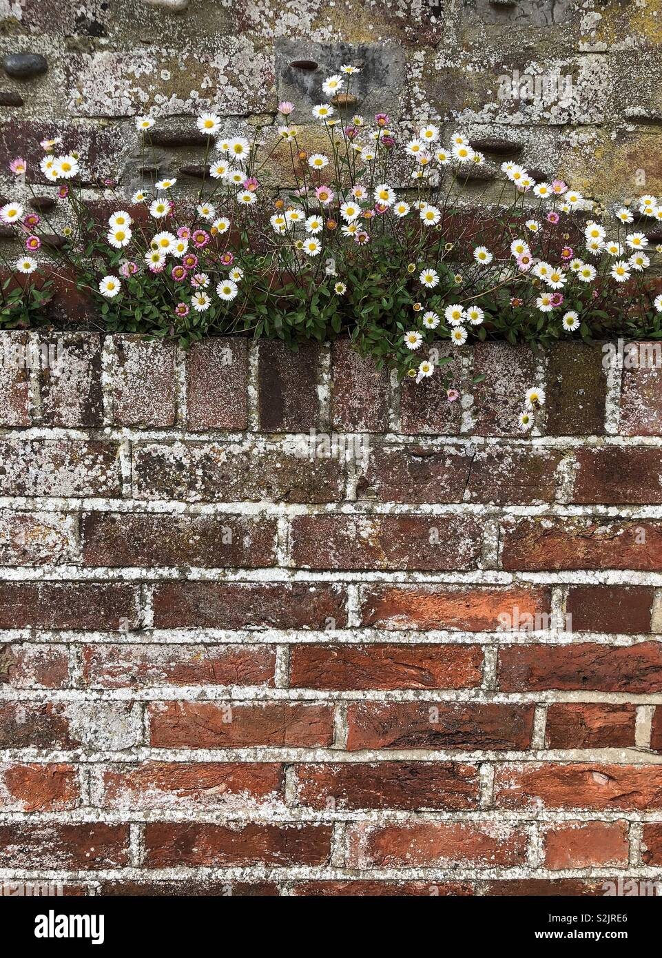 Dainty Pink And White Flowers Growing In The Crevice Of A Rough Weathered Brick Wall Stock Photo Alamy