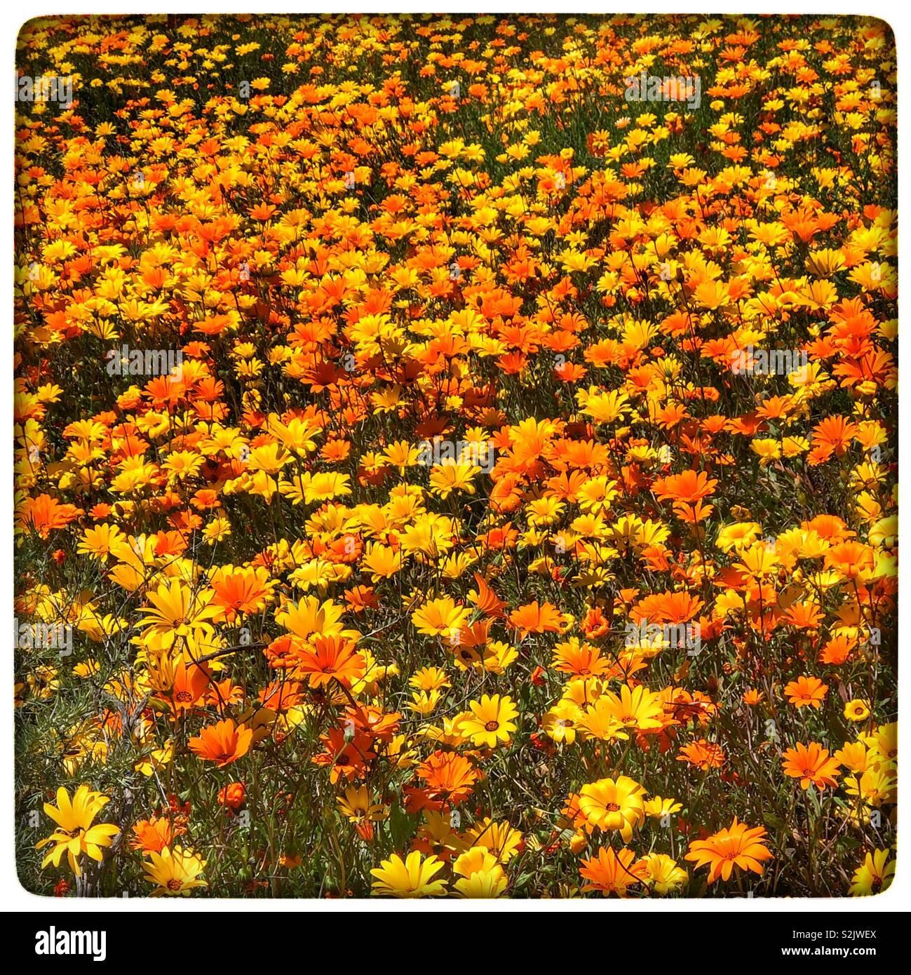 California Superbloom - Stock Image