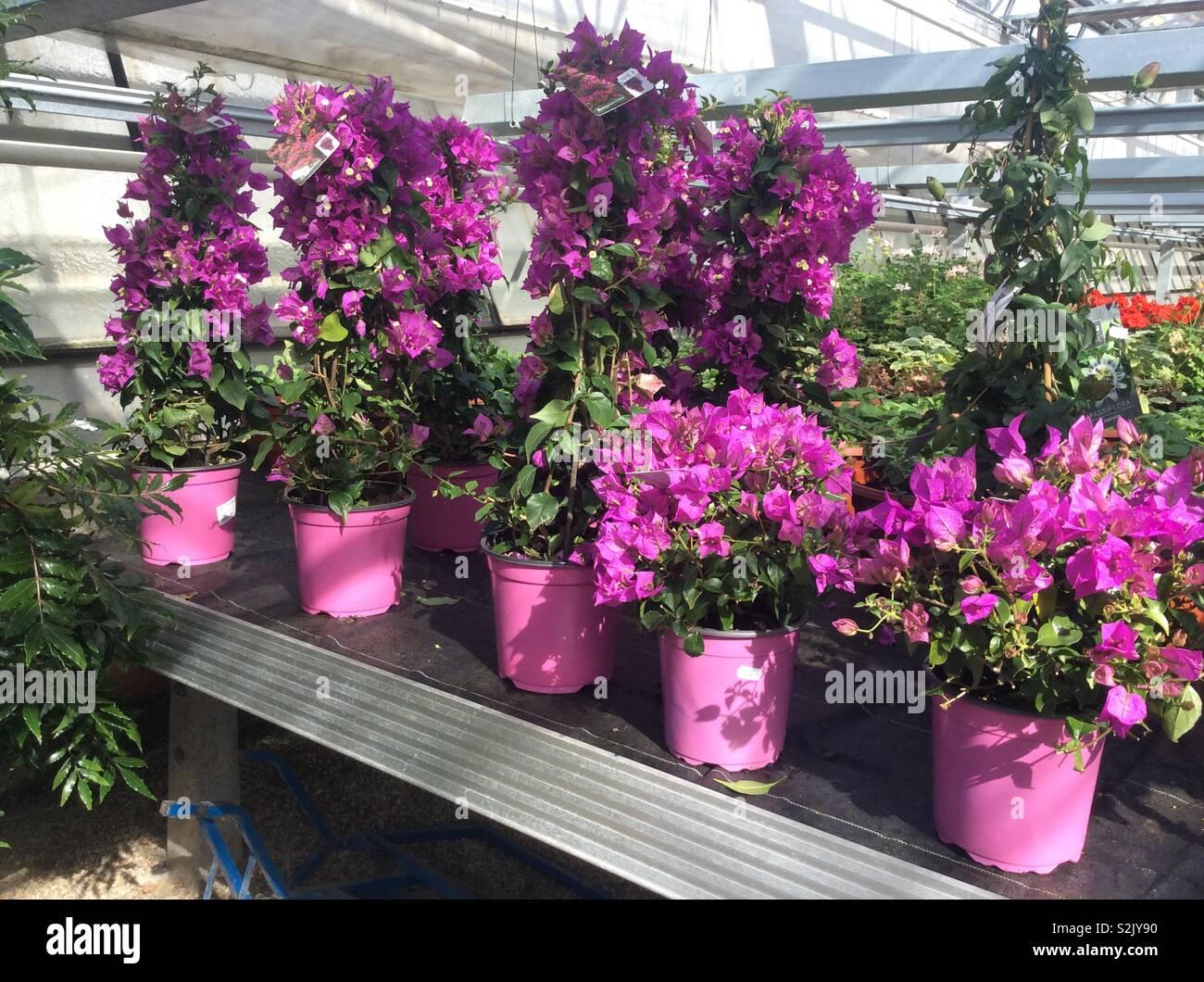 Blooming Lila bougainvillea flowers in pots - Stock Image