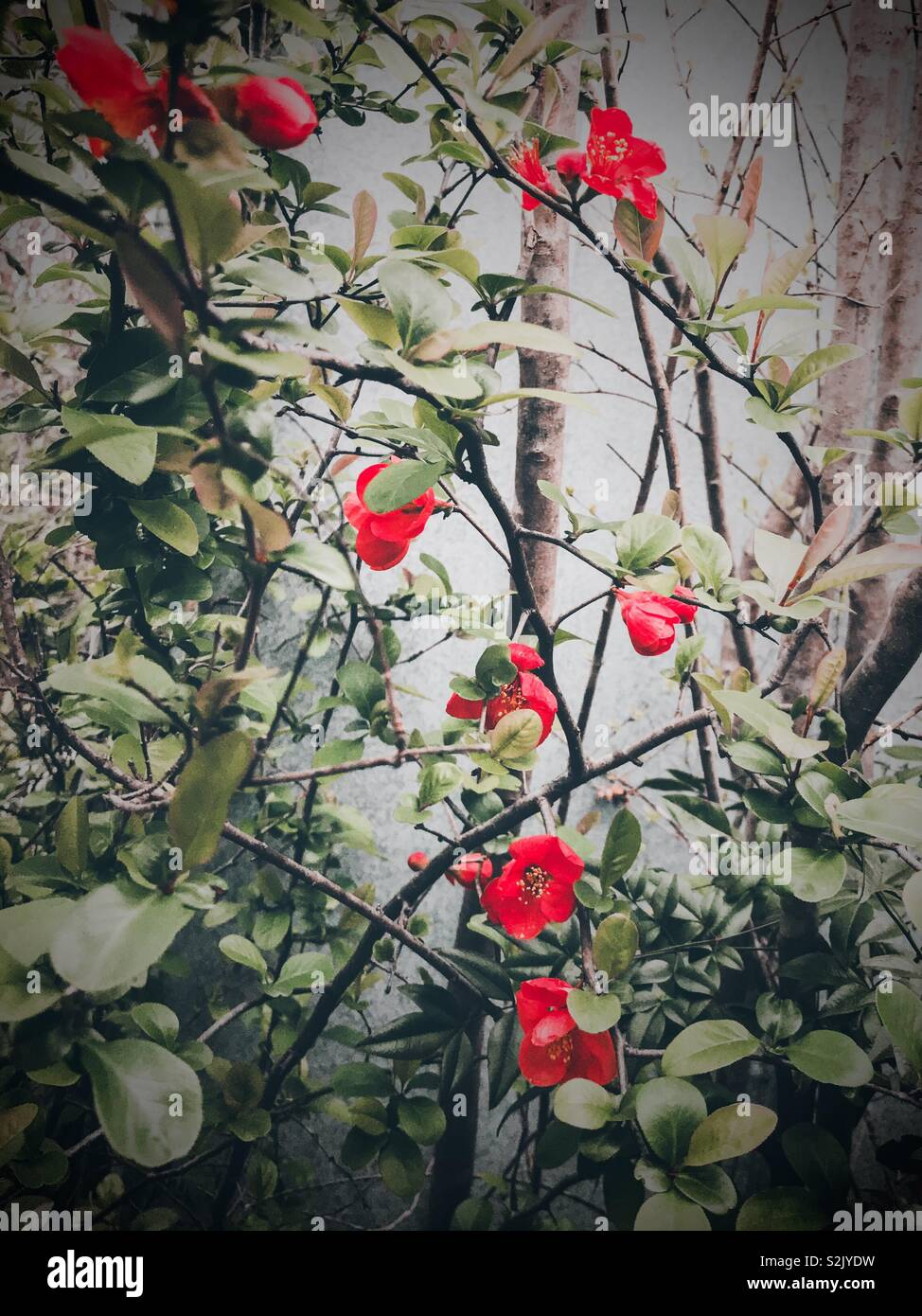 Red Hawthorne shrub blossoms and green foliage against metal shed I North Carolina spring - Stock Image