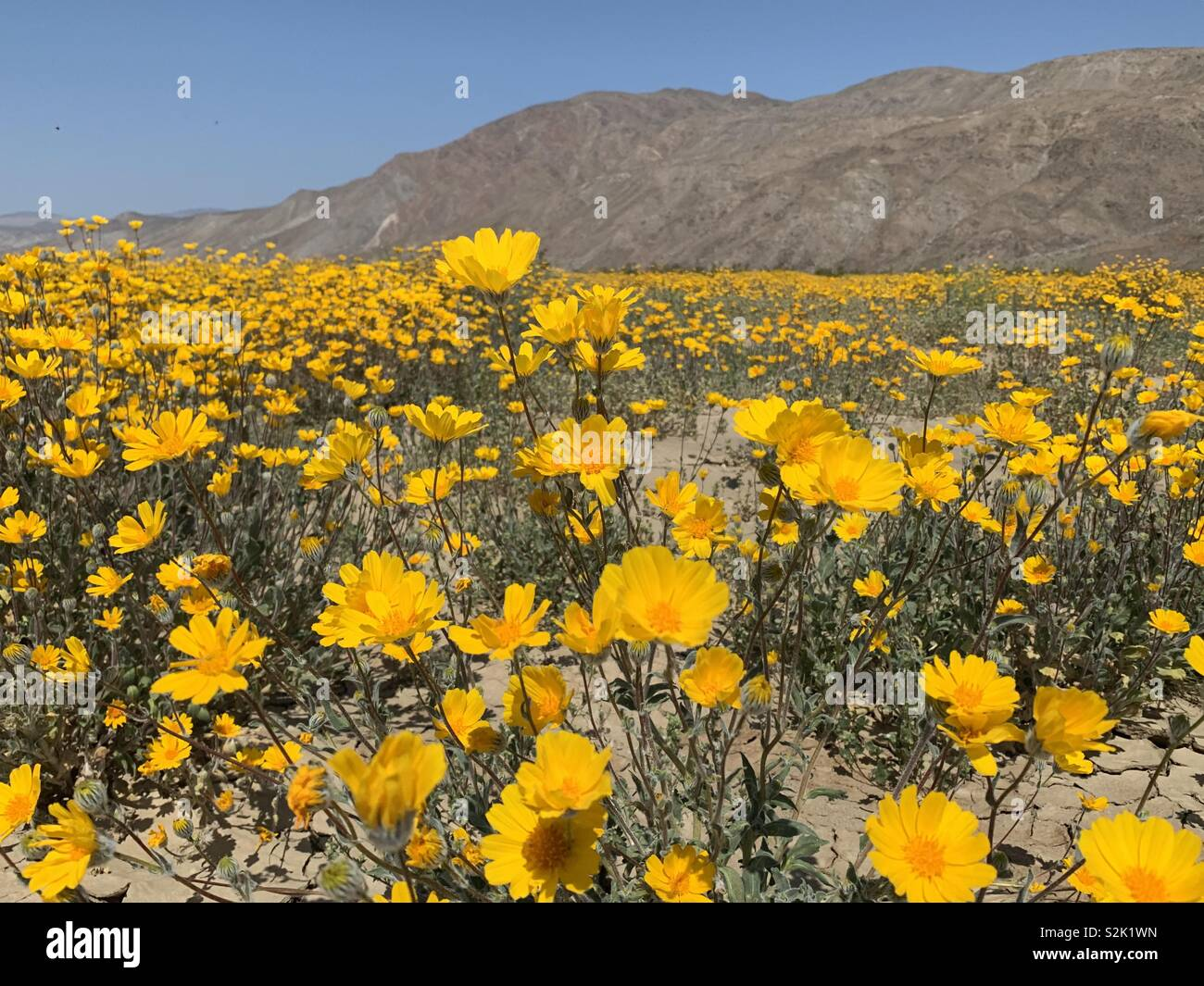 Yellow wild flowers in the desert in Anza Borrego state park near San Diego, California. The flowers are part of the super bloom of March 2019. - Stock Image