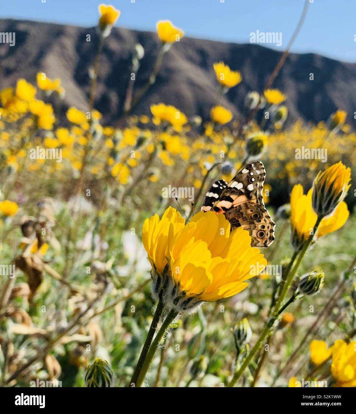 A Painted Lady butterfly rests on a yellow flower during the superbloom in the desert of California.sm - Stock Image