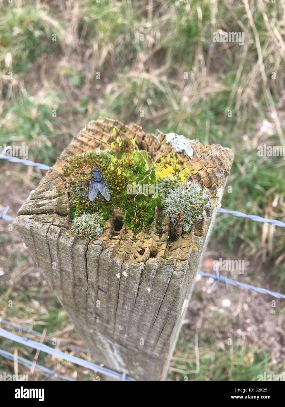 Plans colonization of fence post Lake Swanbourne Arundel West Sussex England - Stock Image