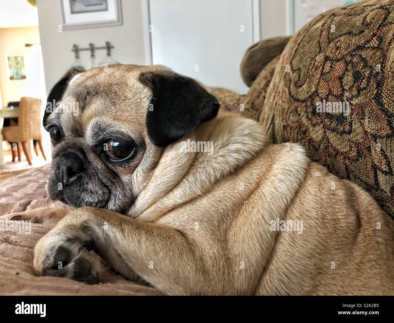 Cute little fawn pug giving the look with her big brown eyes - Stock Image