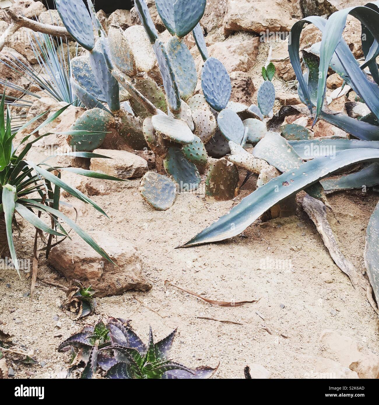 Cacti and succulents in a desert environment - Stock Image
