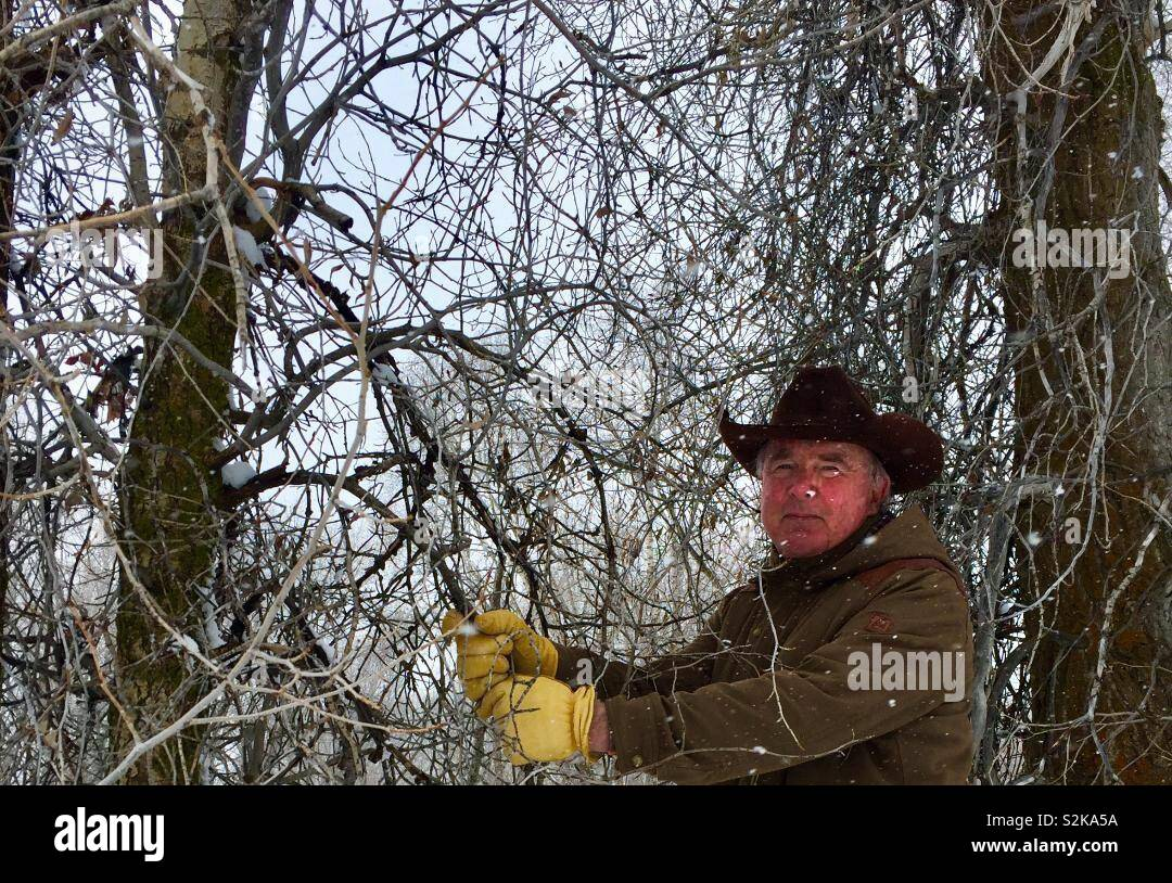 Wyoming rancher grabbing branch While climbing up snowbank - Stock Image