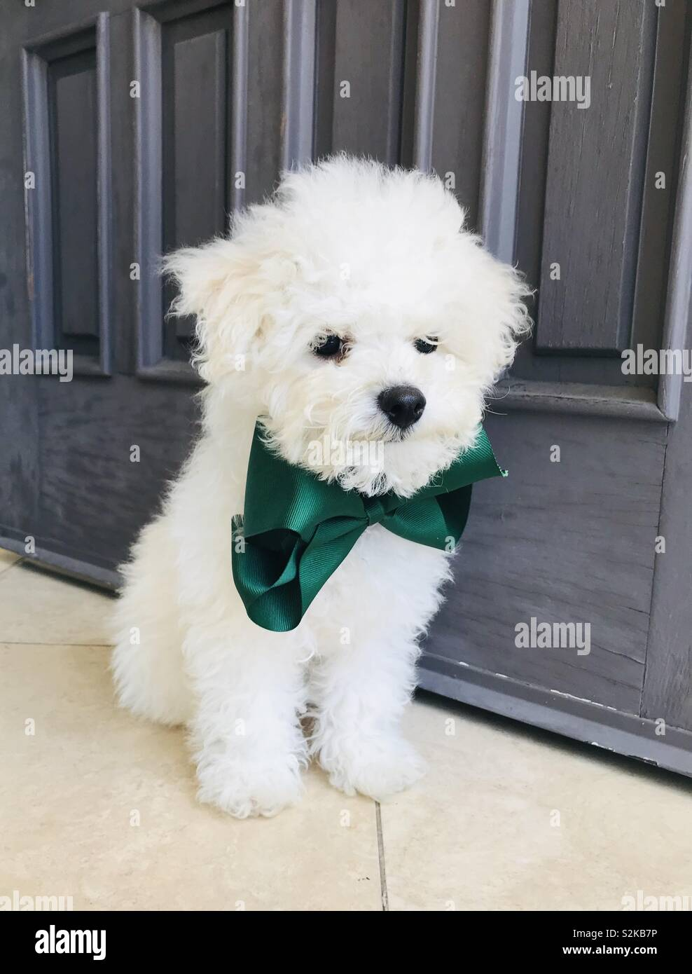 Holiday Boy wearing his green bow tie and furry white coat. Bichon puppy portrait. - Stock Image