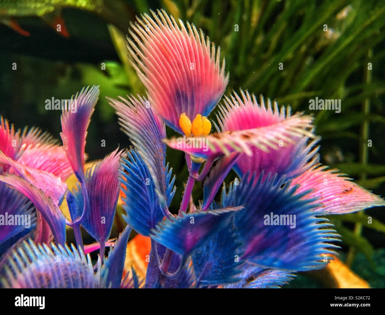 Unusual bright pink plastic plant foliage underwater in a fish tank. - Stock Image