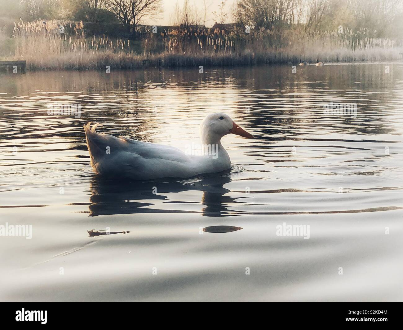 Heavy white Aylesbury duck swimming on a calm lake - Stock Image