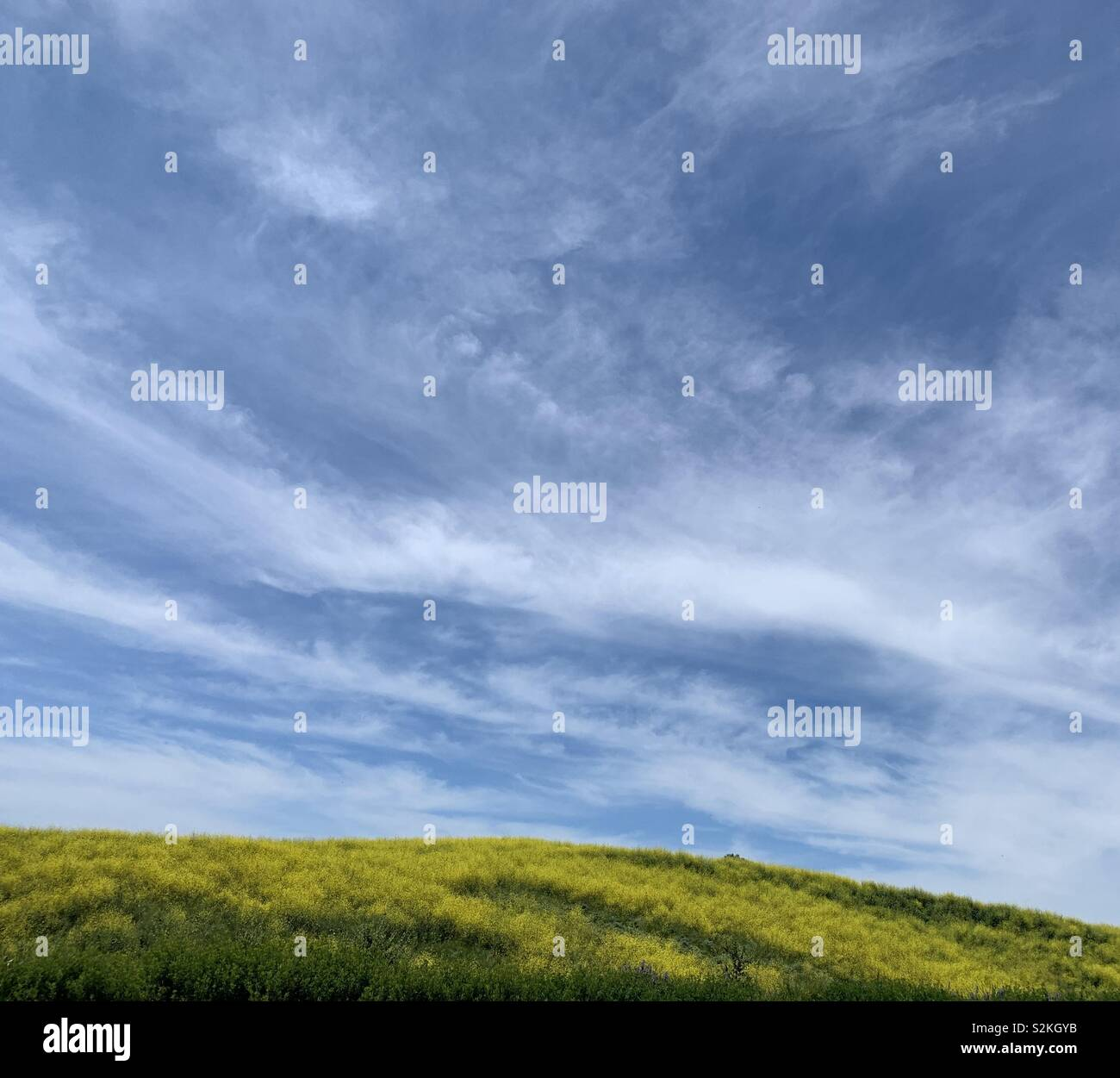 A blue sky over a yellow field in Southern California firing the spring superbloom of 2019. - Stock Image