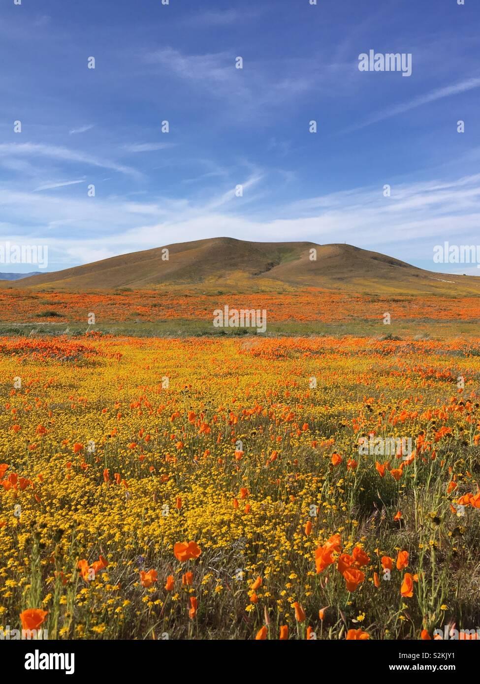 Superbloom Antelope Valley California Poppy Reserve - Stock Image