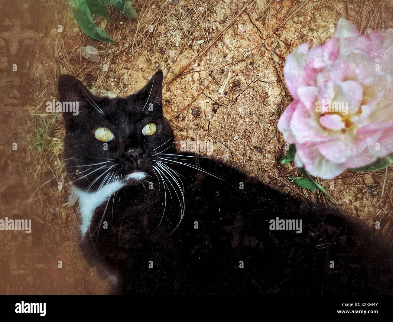 Black and white tuxedo kitty eyes frilly pink tulip from the ground - Stock Image
