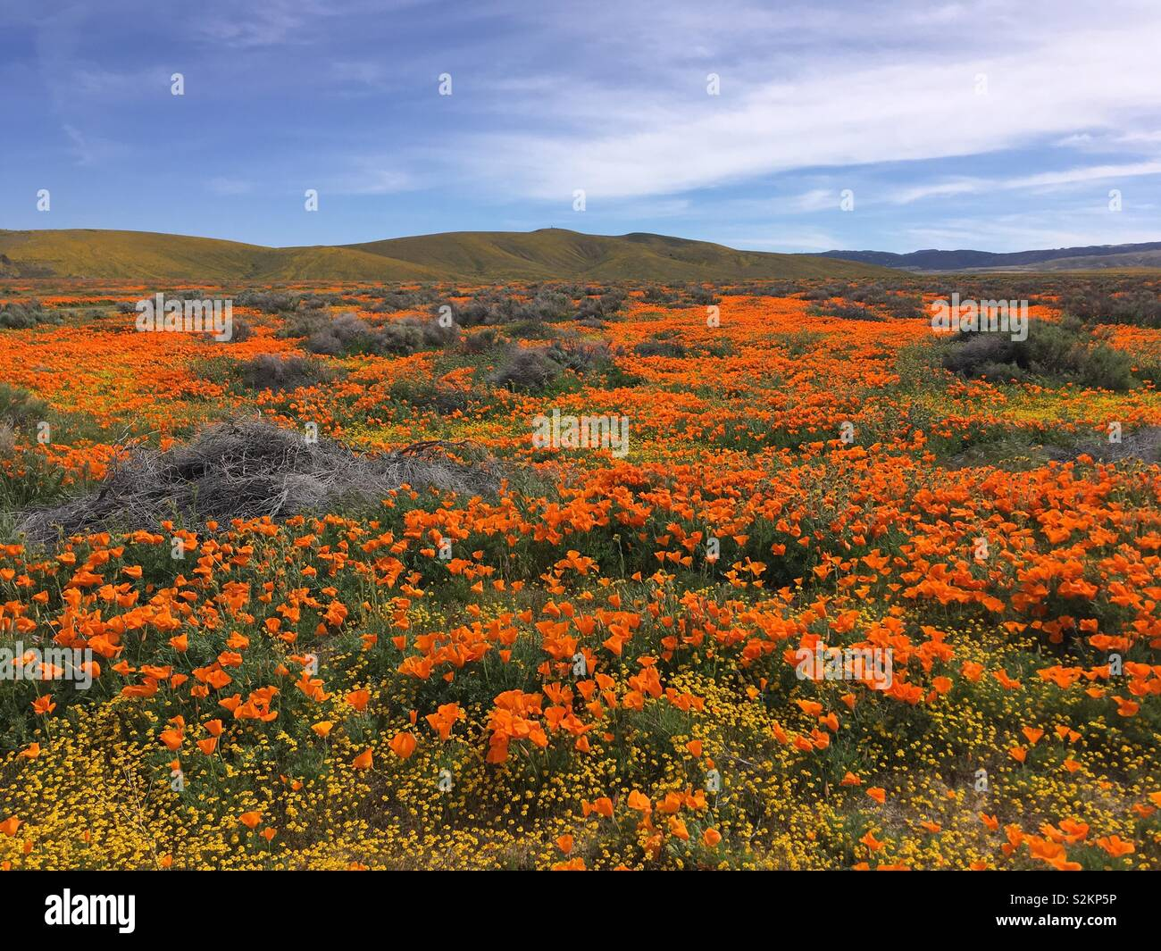 Superbloom of Poppies and Goldfields in Lancaster, California - Stock Image