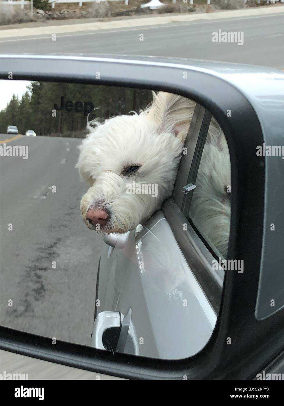 White dog with his head out the window enjoying the ride in the car and wind in his face - Stock Image