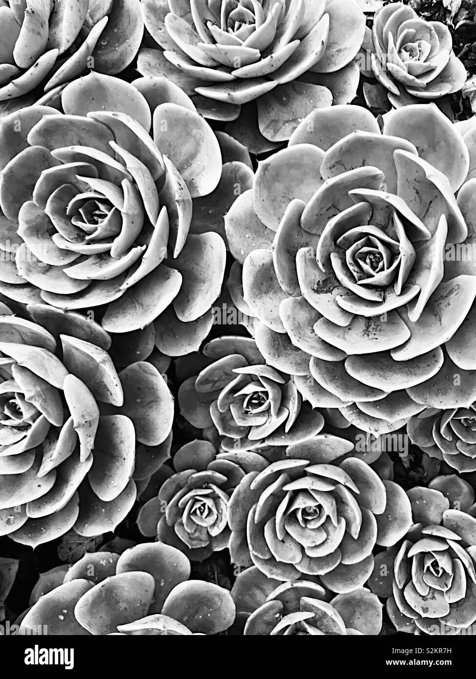 Succulents in black and white Stock Photo