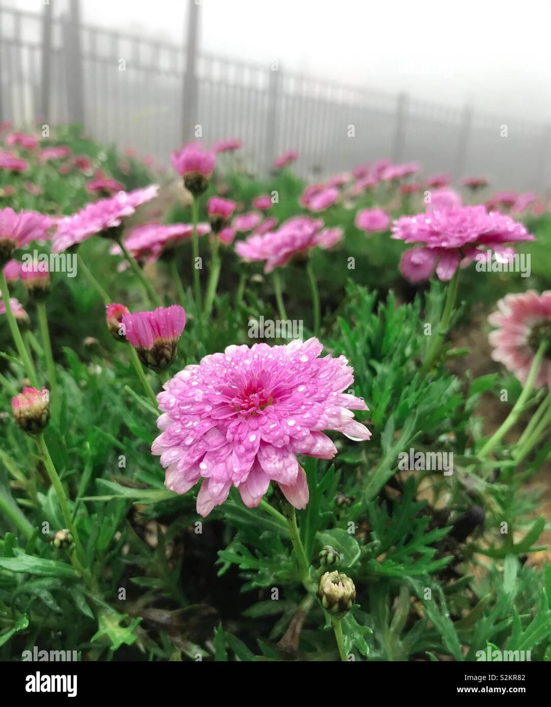 Pinky Flowers - Stock Image