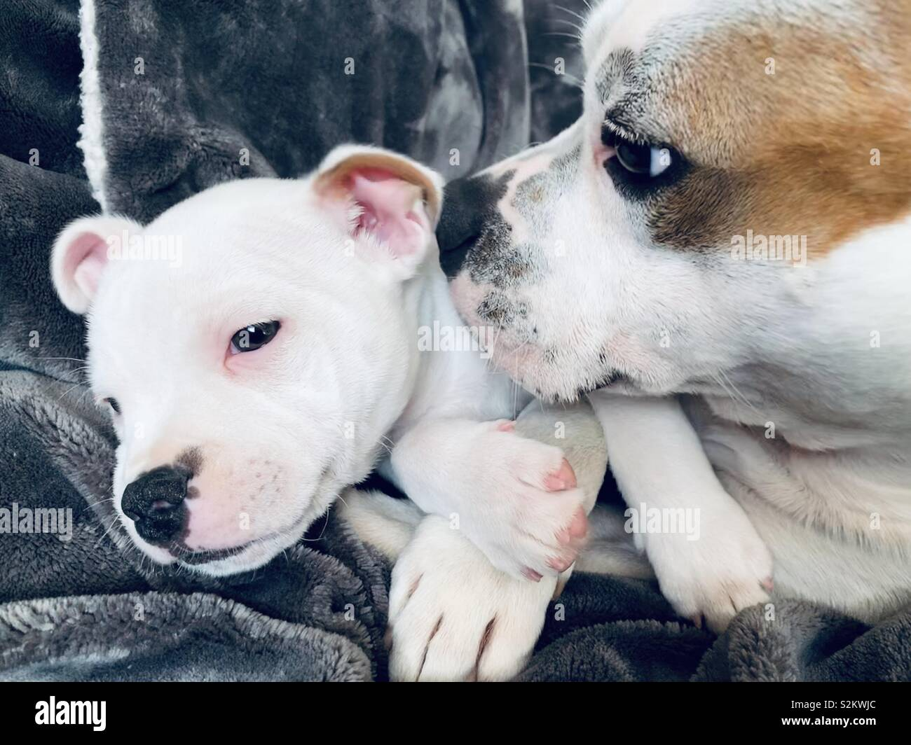 Staffordshire bull terrier puppy - Stock Image