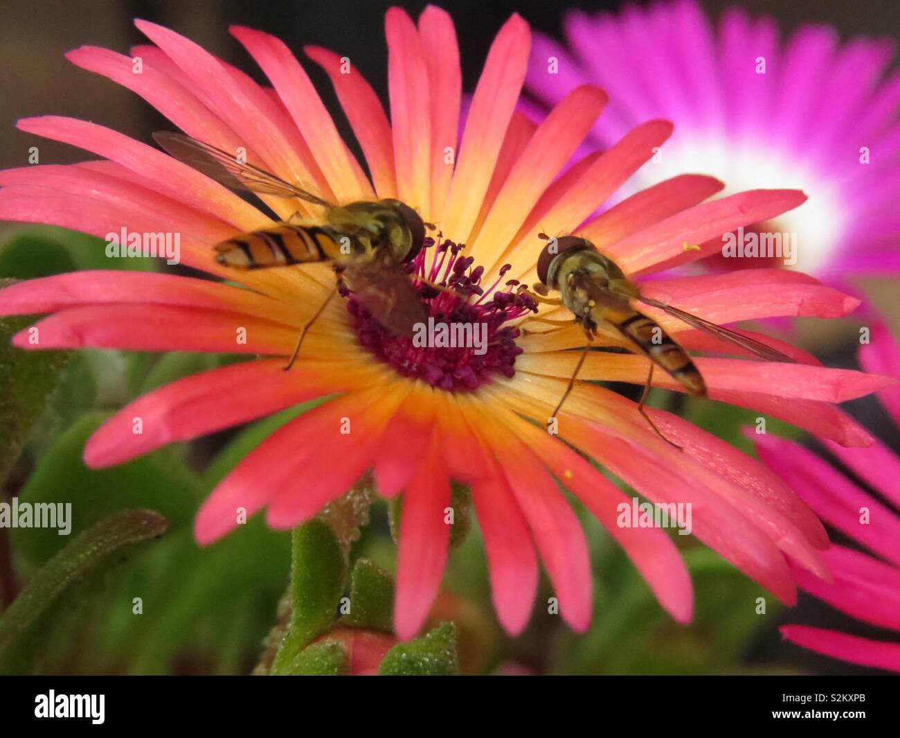 Insects feeding on nectar - Stock Image