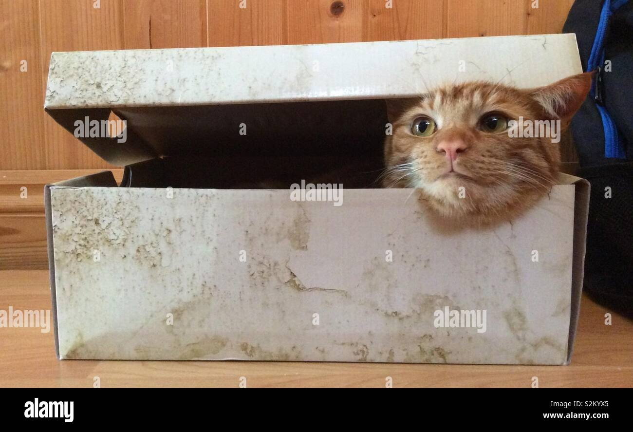 Cat looking up out of cardboard shoe box. - Stock Image