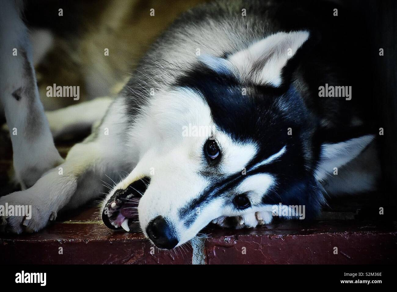 Cute smiling husky. - Stock Image