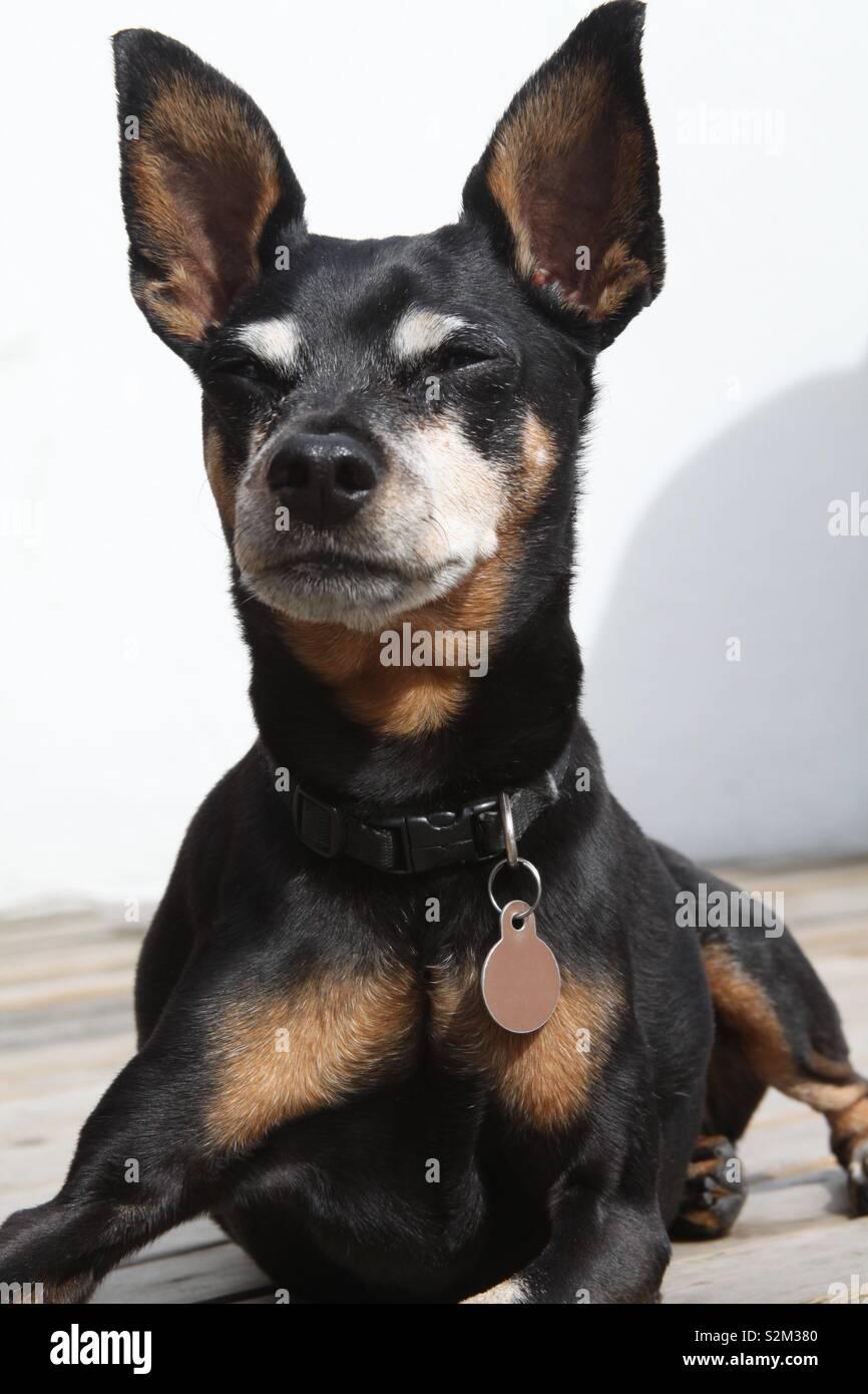 Mans best friend, mini pinscher up close, pet portrait photography - Stock Image
