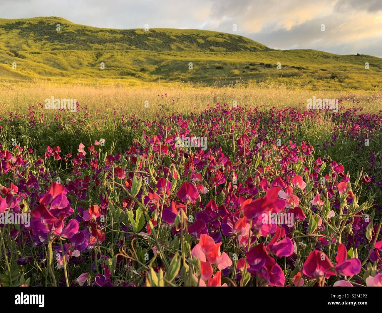 Wildflowers growing in a field in San Juan Capistrano, California. These flowers are part of the super bloom of spring 2019. - Stock Image