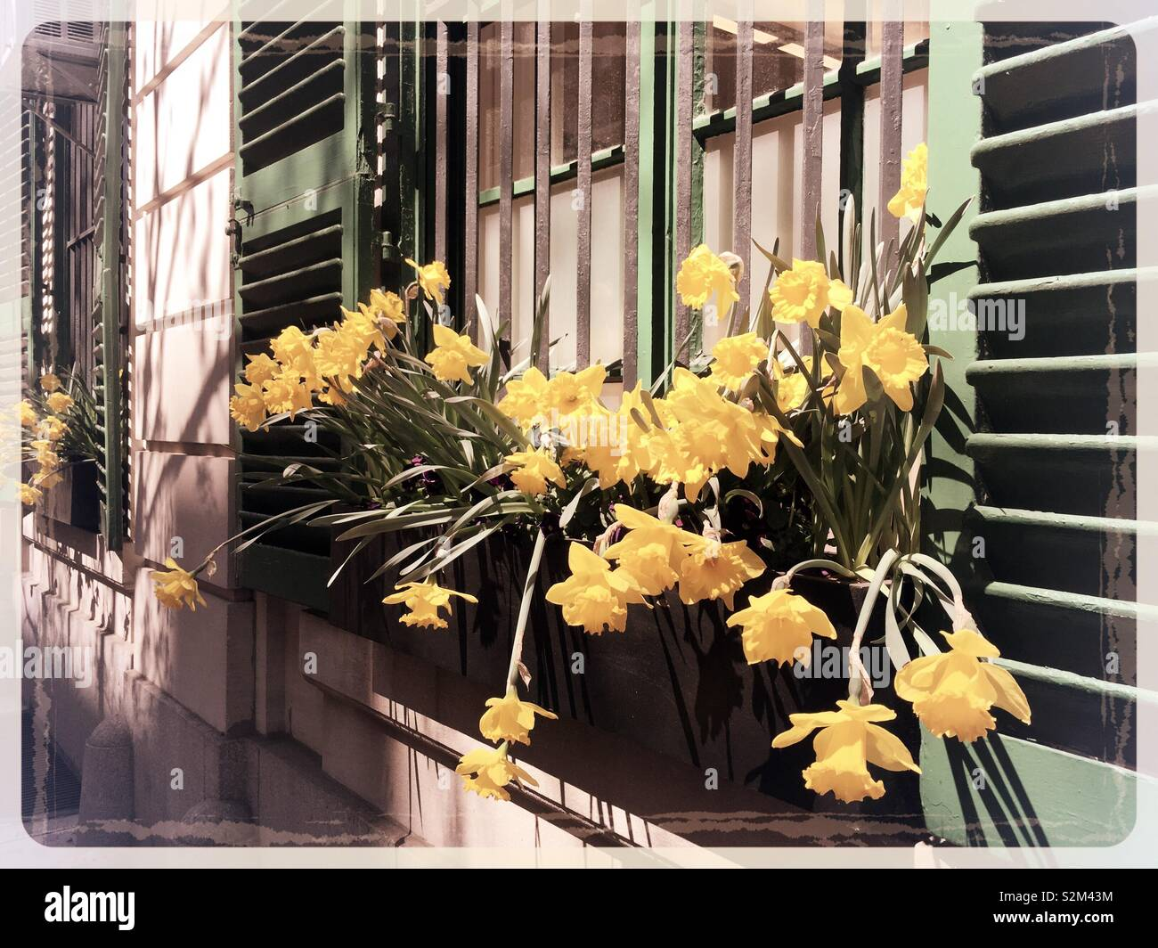 Window box on an apartment building filled with blooming daffodils, - Stock Image