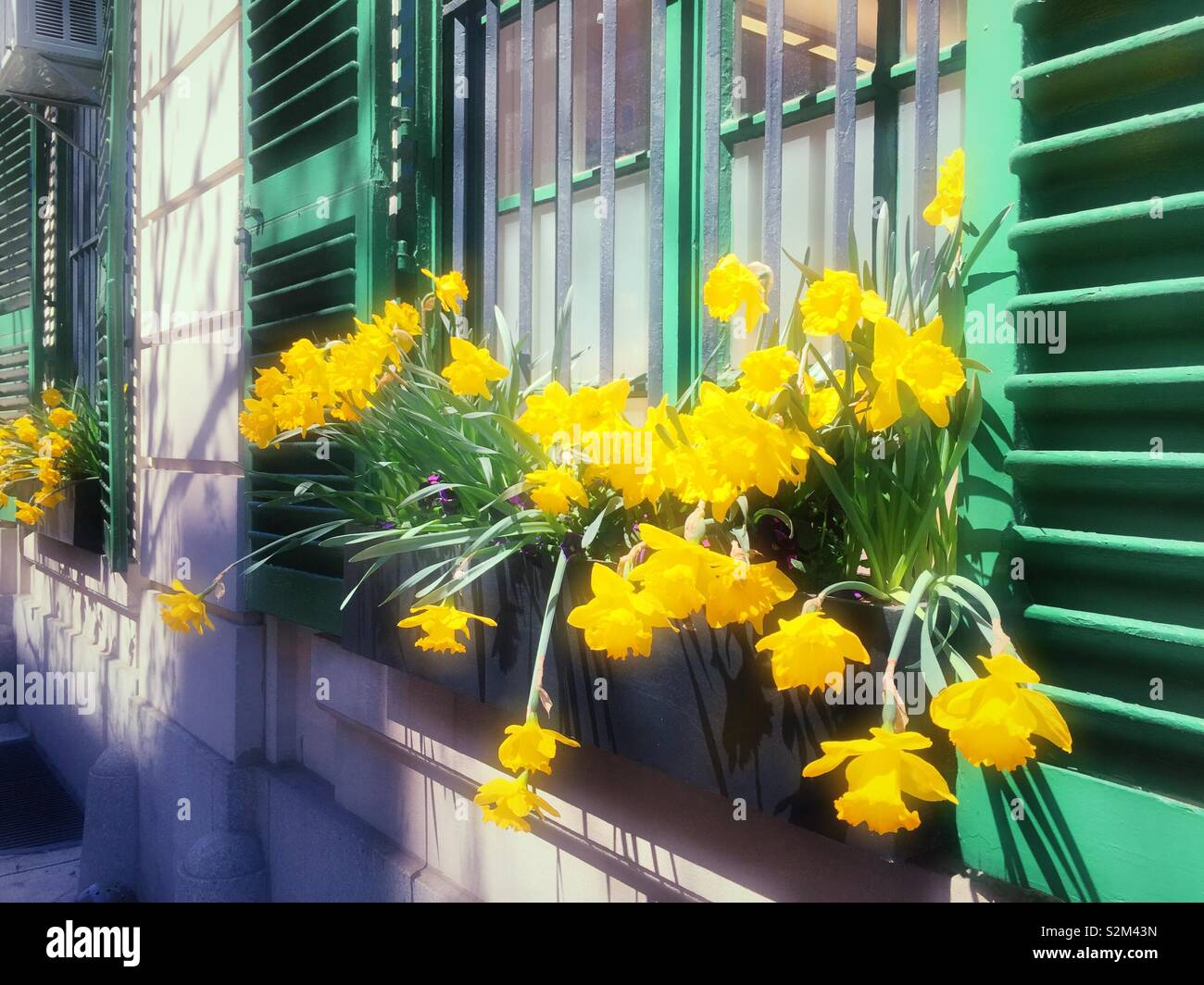 Springtime scene with blooming daffodils in an apartment building window box with green shutters, USA - Stock Image