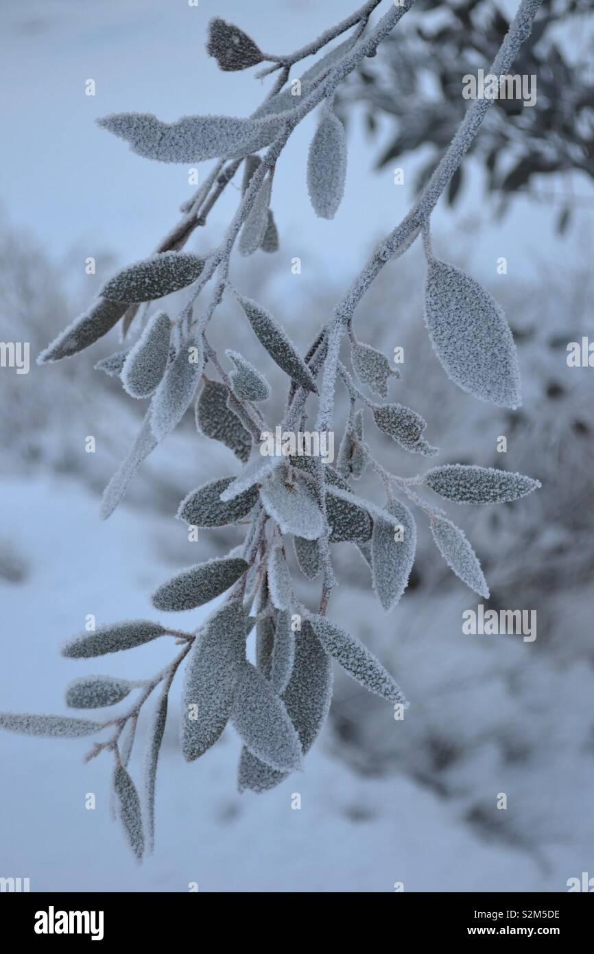 Snow Gum Leaves - Stock Image