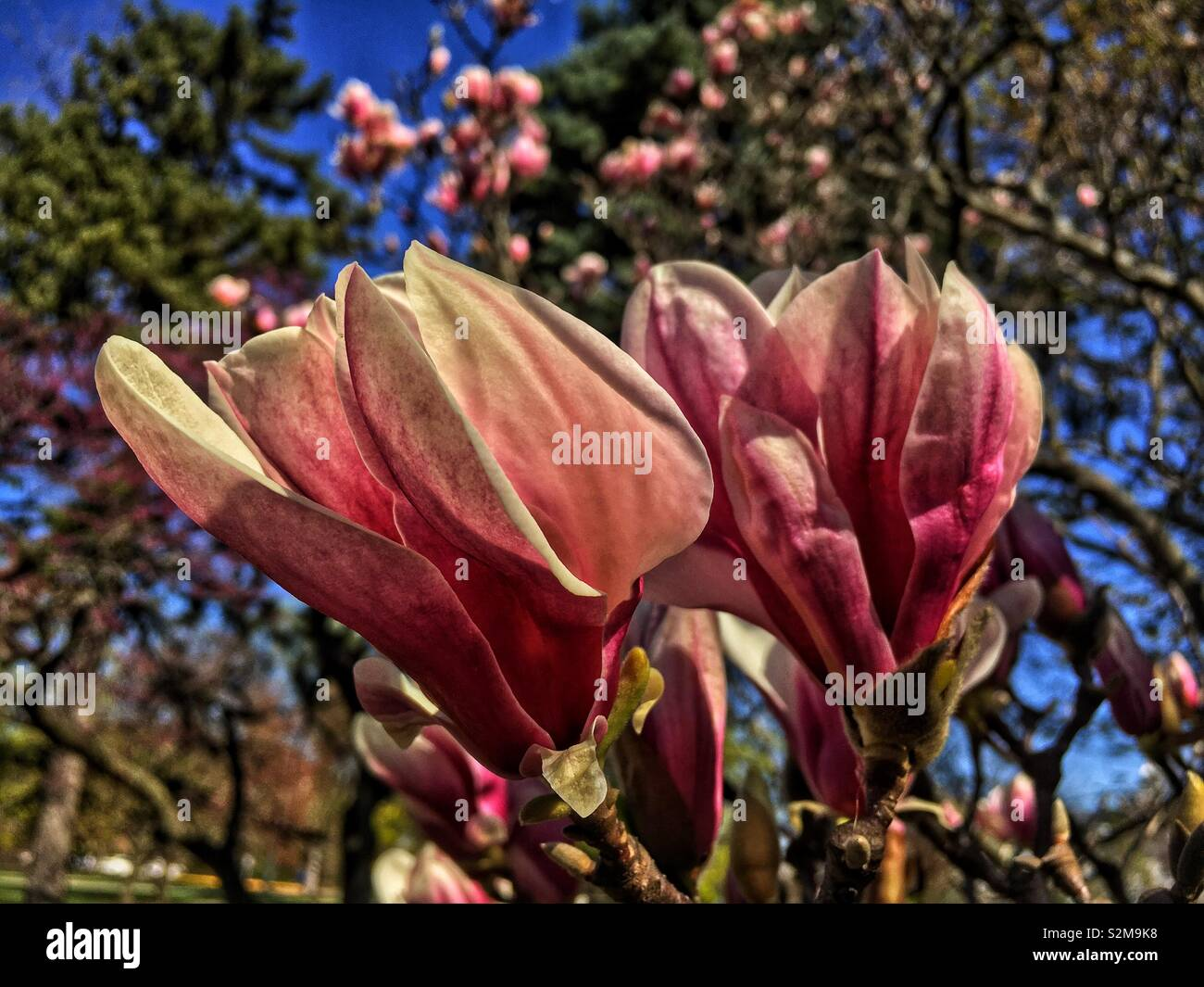 Huge Showy Beautiful Pink And White Magnolia Flower Stock Photo