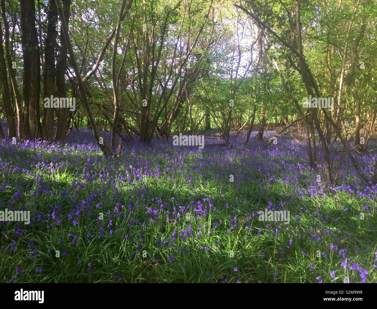 Bluebell woods - Stock Image