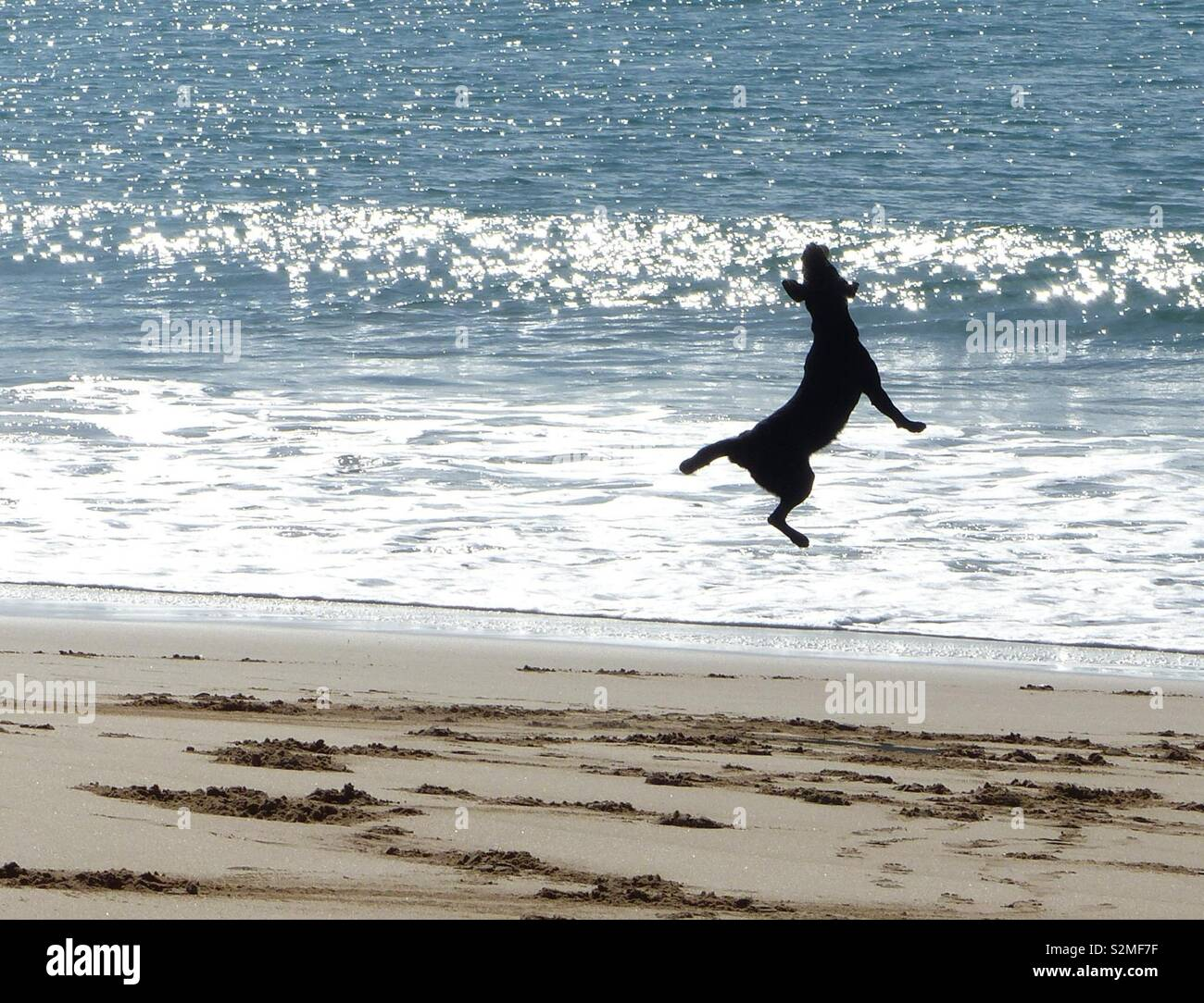 Dog leaping on beach - Stock Image